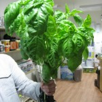 Basil - Harvested Plant