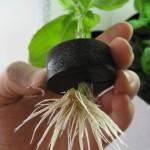 Basil - EZ Clone - Roots